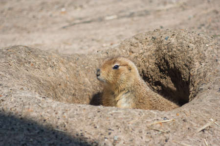 cape ground squirrel: Ground squirrels also known as Spermophilus looking from its hole