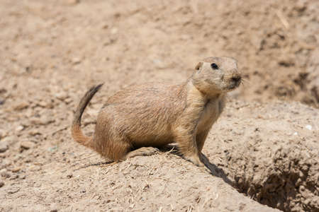 cape ground squirrel: Ground squirrel also known as Spermophilus is guarding its hole by its entrance