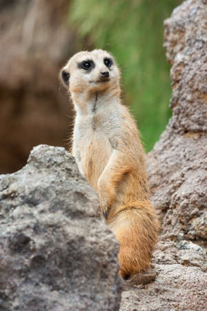 herpestidae: Meerkat standing alert in the desert environment Stock Photo