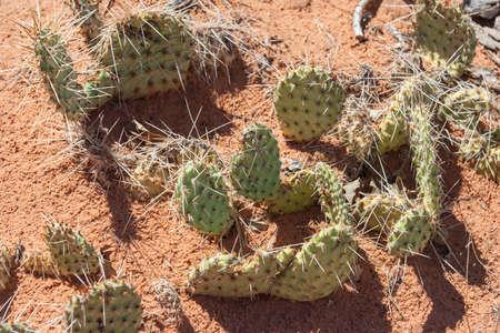 Cactuses in Arches National Park, Utah, USA 版權商用圖片 - 58600942