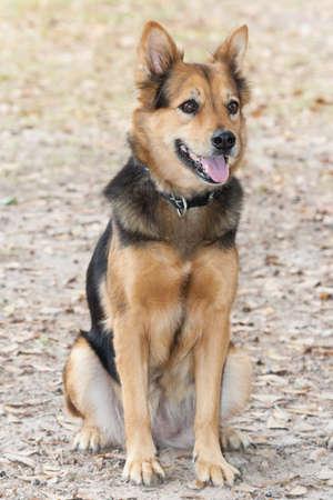 German Shepherd Dog also known as Alsatian 版權商用圖片 - 58601009