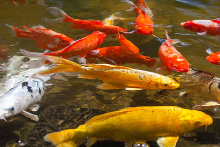 domesticated: Yellow, gold, red, and white Koi, also known as nishikigoi, domesticated common carp for garden ponds for decorative purposes Stock Photo