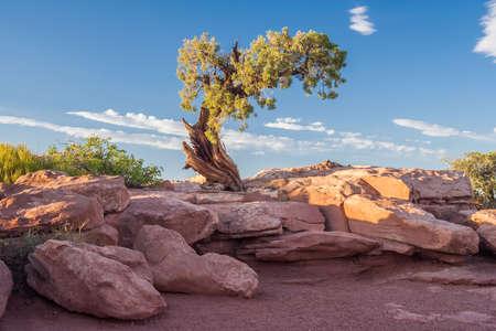 Lonely tree at Canyonlands National Park, Utah, USA