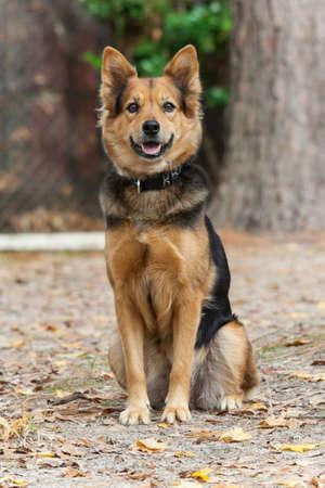 German Shepherd Dog also known as Alsatian 版權商用圖片 - 58601095