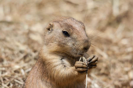 cape ground squirrel: Ground squirrels also known as Spermophilus in its natural habitat