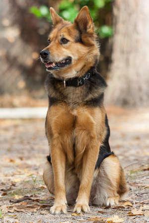 ドイツ ・ シェパード ・ ドッグとも呼ばれるアルザス 写真素材