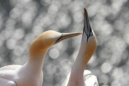 gannet in love