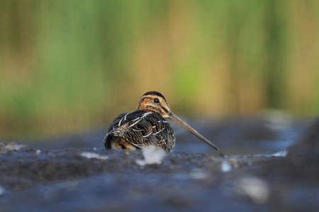 Common Snipe Gallinago gallinago Reklamní fotografie