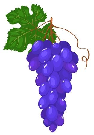 Cluster of dark blue grapes. Vector