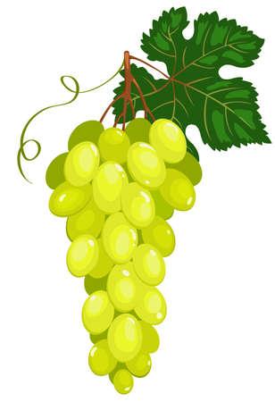 Cluster of dark green grapes. Vector