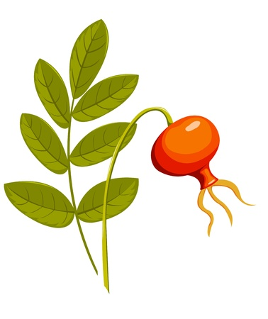 Rose hip. Isolated on the white. Vector illustration. Vector