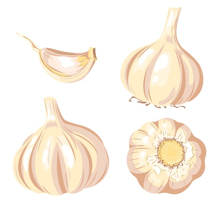 Garlic set. Four images. Isolated on white. Vector illustration.