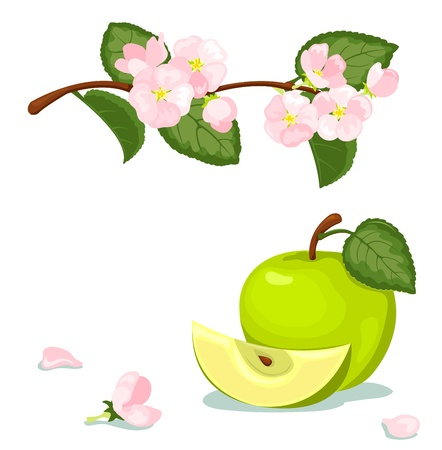 apple blossom: Green apple and blossoming branch. Vector illustration. Isolated on white.