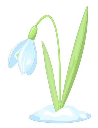 inflorescência: Snowdrop on the white background. Vector illustration.