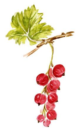 レッドカラント: 赤スグリは、白で隔離。水彩の手描きイラスト。