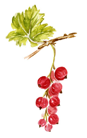 red currant: Red currant isolated on white. Watercolor hand-drawn illustration.