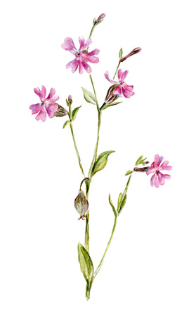 pink flower: Pink flower isolated on white. Watercolor hand-drawn illustration.