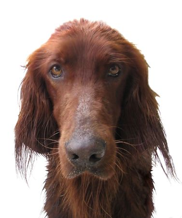 grievous: redhead pensive dog Stock Photo