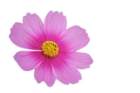 Close up cosmos flower, Mexican aster flower