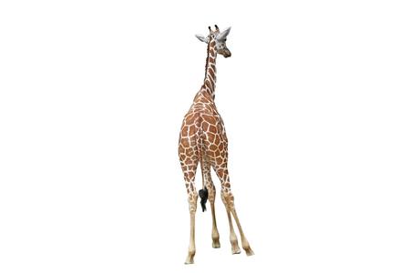 Back of giraffe isolated