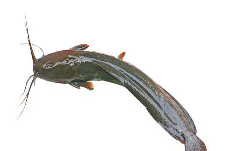 Catfish,Batrachian walking catfish,freshwater fish Standard-Bild