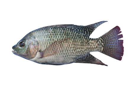 Nile tilapia , freshwater fish,asia