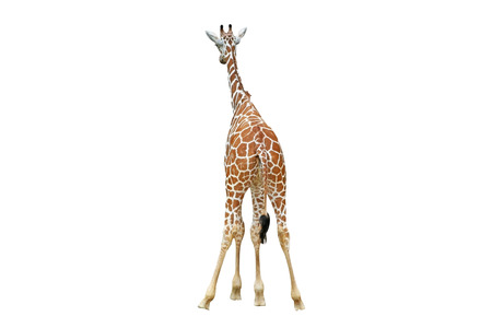 Back of giraffe isolated on a white background