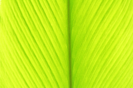 Young turmeric leaf,green leaves background