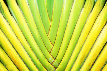 Travellers palm leaves background,Fan shaped