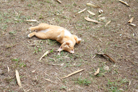 Playful Cat lying and turn face up at garden,asia cat