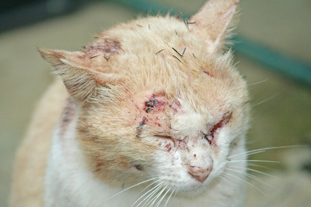 Asian cat injured Stockfoto