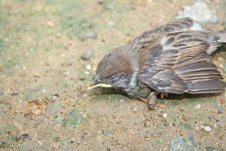 Birds fall from the nest on the tree,Sparrow bird on the ground