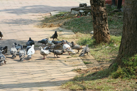 pigeons groups in the park