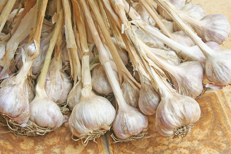 Garlic plant closeup photo