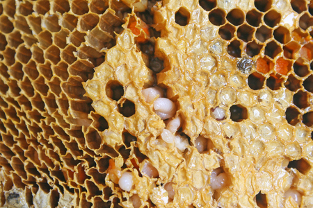 larvae of bee in honeycomb 版權商用圖片