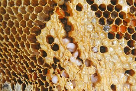 larvae of bee in honeycomb Archivio Fotografico