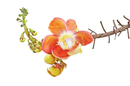 Cannonball tree flowers or Shorea robusta  isolated on white background with clipping path,Couroupita guianensis Standard-Bild