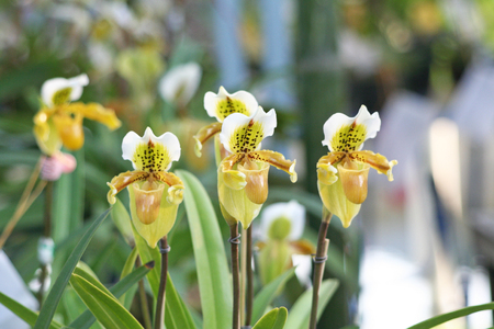 yellow lady's slipper orchid,groups Reklamní fotografie