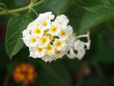 White Hedge Flower ,Lantana camara