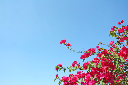 Treetop of pink bougainvillea