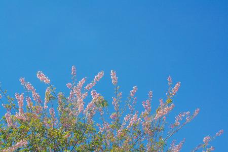Treetop of pink sakura flower blooming on  vivid blue sky background