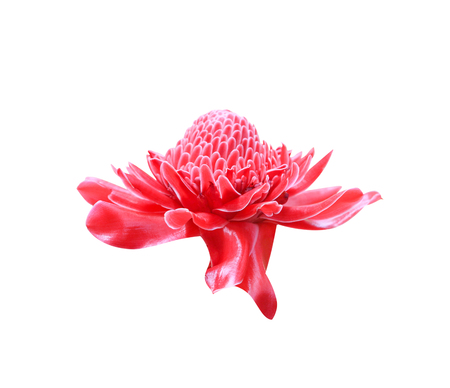 Colorful red etlingera elatior flower blooming or torch ginger ornamental isolated on white background with clipping path Imagens