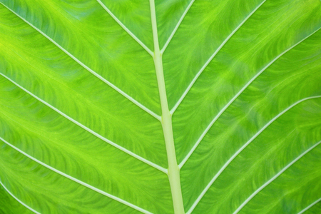Close up beautiful green leaf with white line patterns texture,nature background