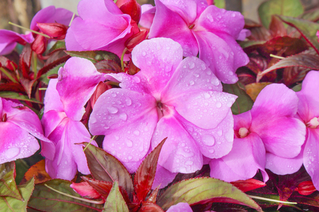 Top view pink or purple impatiens balsamina flower blooming with water drops in garden