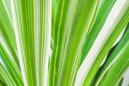 Texture linear green stripes alternating with bright white on the leaf , nature  patterns background