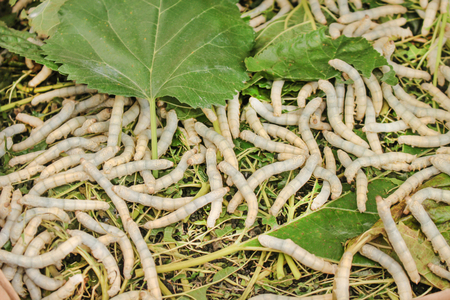 Silkworm or bombyx Mori group eating mulberry leafs on background