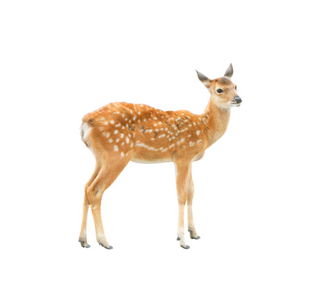 Young deer standing and looking isolated on  background with