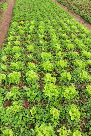 Growing green lettuce or lactuca sativa in garden background Standard-Bild