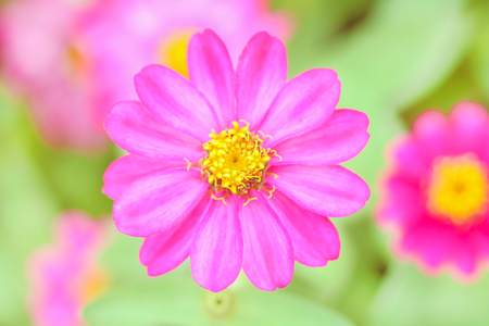 Colorful pink flowers zinnia violacea blooming in garden