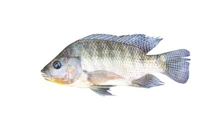 Nile tilapia  isolated on white background , freshwater fish